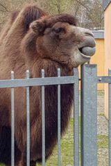So ein Kamel