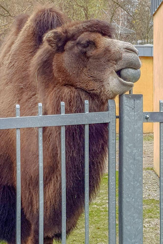 So ein Kamel !