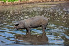 so ein Schwein