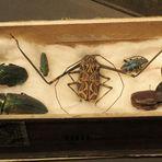 So haben Dazumal die Forscher Käfer fürs Museum gesammelt ...