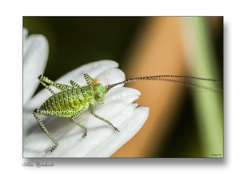 So klein (Körperlänge ca 4 mm) und so gefräßig