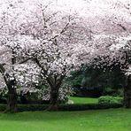 So Many Blossoms .......