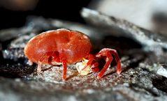 So richtig zum Streicheln!? Die Rote Samtmilbe (Trombidium holosericeum).