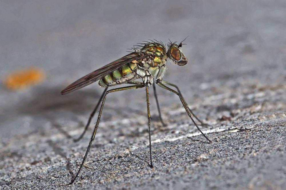 So schön kann eine Fliege sein - und sogar auch nützlich! - Une beauté mal-aimée et utile...