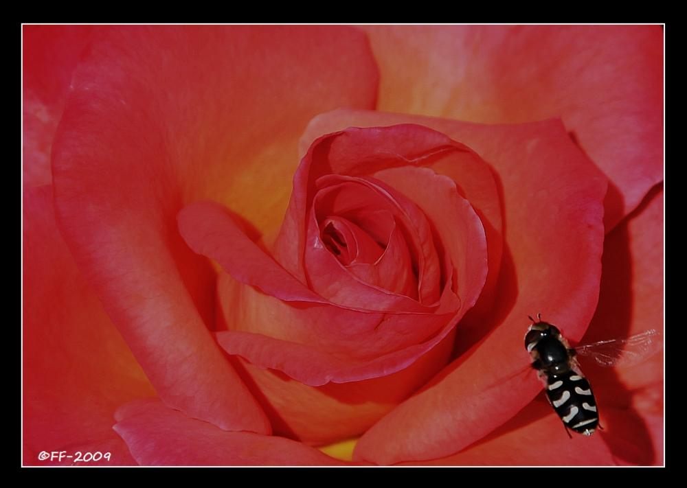 So schön, wie diese Rose...