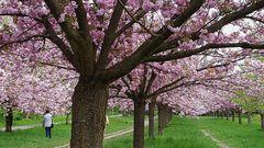 So sieht die Japanische Kirschblüten-Allee aus...