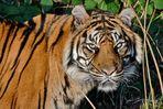So wie ein Tiger...