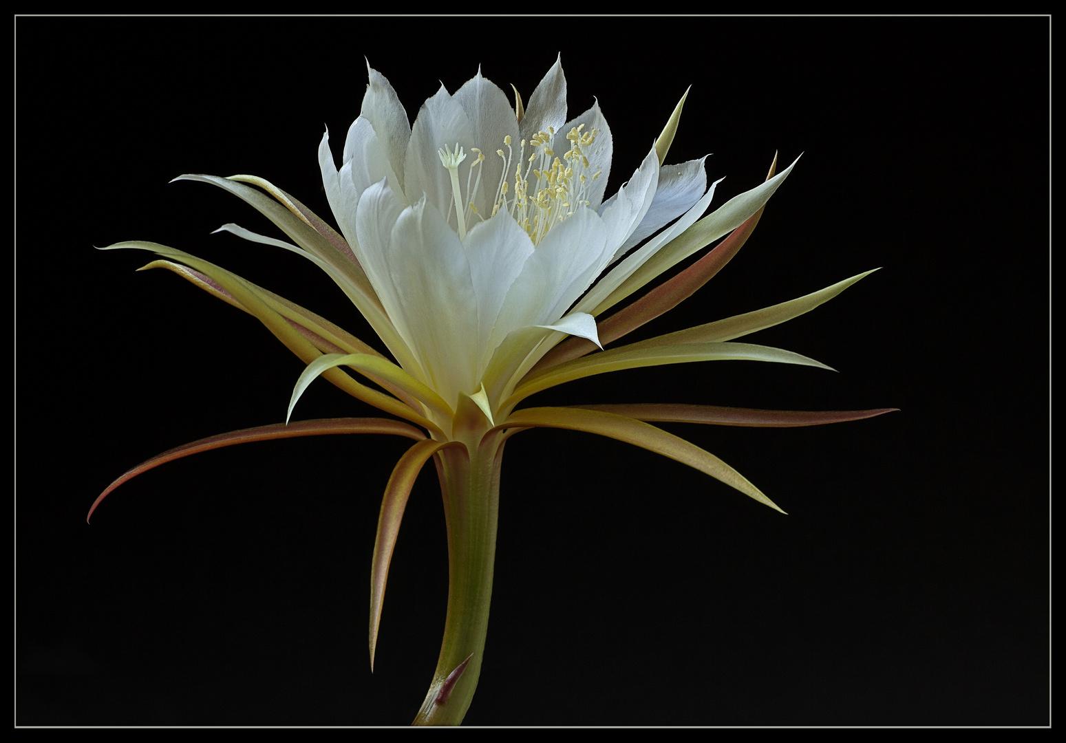 So zart und elegant sehen die herrlichen Kaktusblüten aus