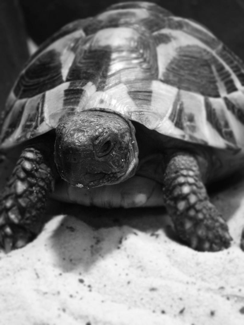 so, zoes schildkröte nochmal in schwarz weiß. c: