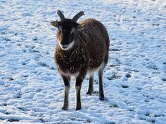 """Soay - Schaf mit dem Namen """"WOLLI"""""""
