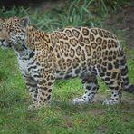 Socorro der kleine Jaguar .....