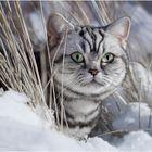 Sofatiger im Schnee