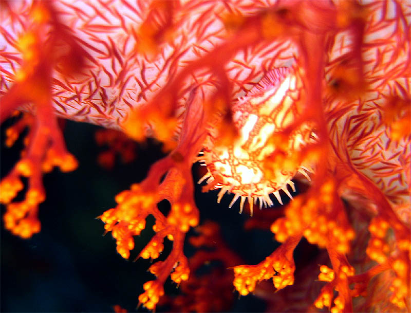 Soft Coral Cowrie
