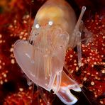 Soft coral snapping shrimp