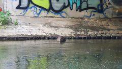 sogar unter einer stark befahrenen Brücke haben die Biber einen Freßplatz angelegt