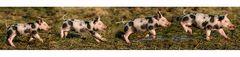 Sogenannter Schweinsgalopp