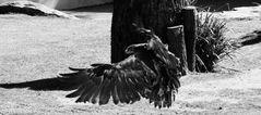 Solange der Adler jagt und fliegt...