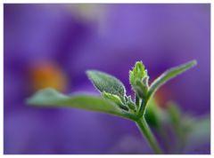 Solanum #1