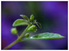 Solanum #2