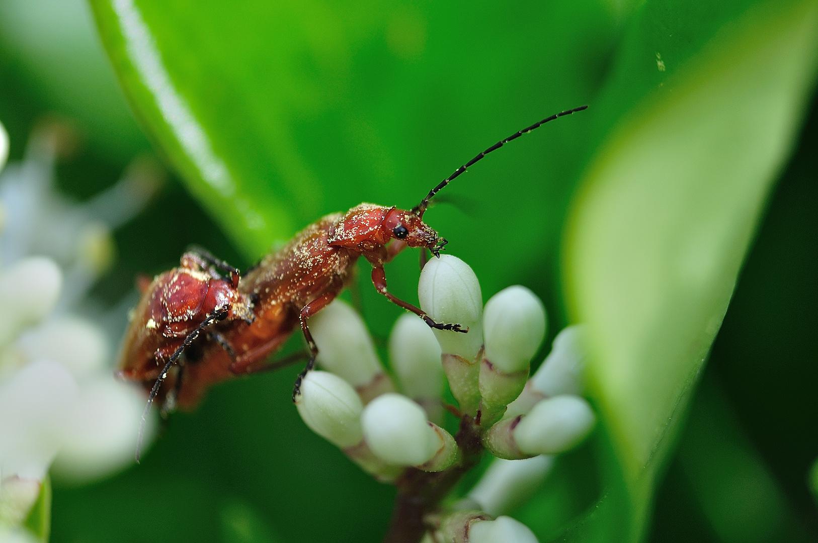 Soldadito rojo (Rhagonycha fulva)