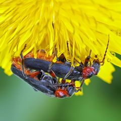 Soldatenkäfer (Cantharis rustica)
