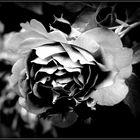 solitary rose.