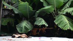 Sombra de banano y mono capuchino al sol