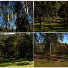 Some of the tall eucalyptus timber that grows on my DaughterWendy's Property.