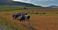 Sommer auf der Weide, wenig Futter (verano en el pasto, poca comida)