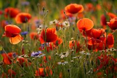 SOMMER - Blumenwiese