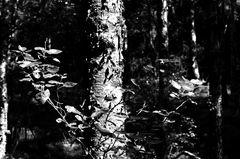 Sommer im Kapartenbirkenwald