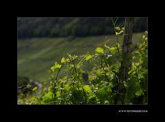 Sommer im Weinberg #3