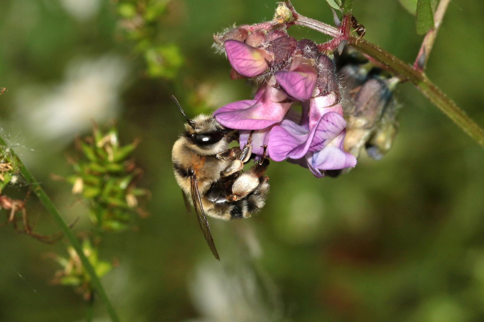 Sommer-Pelzbiene Anthophora aestivalis - Weibchen