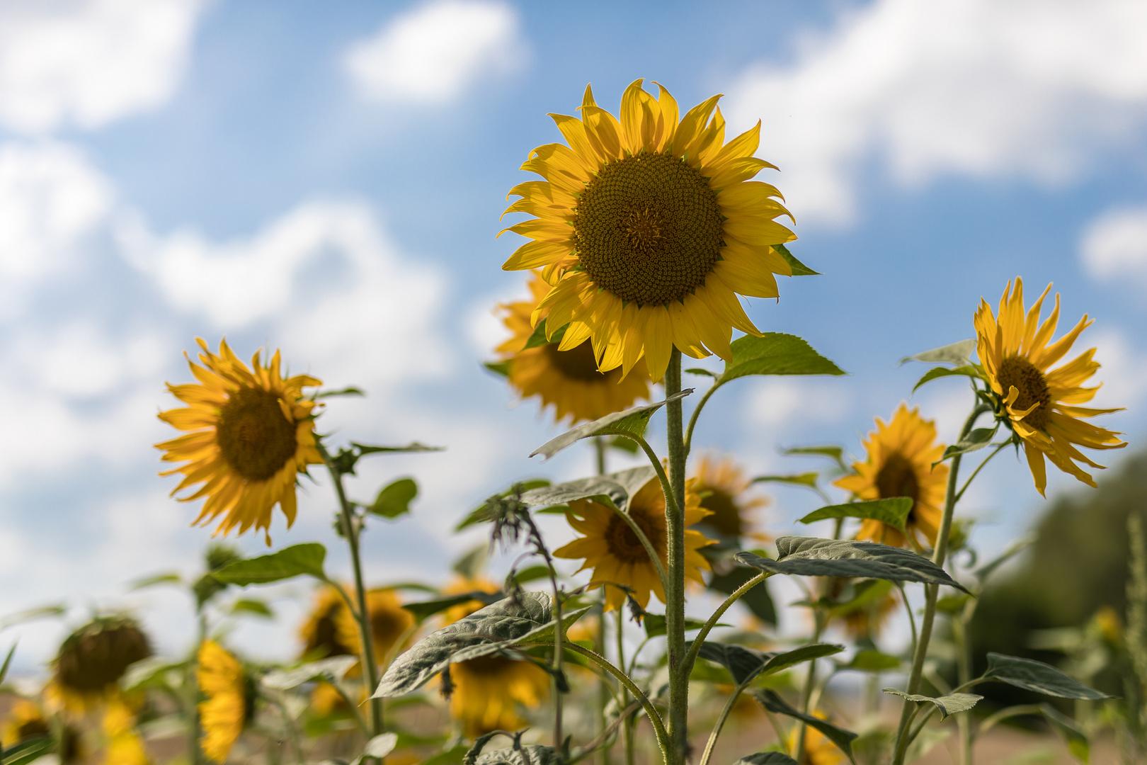 Sommer-Sonne-Blume