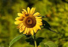 Sommer - Sonne - Sonnenblume (1)