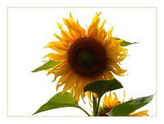 Sommer-Sonne-Sonnenblume