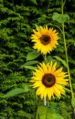 Sommer-Sonnenblume (2)