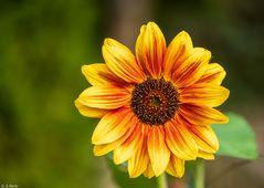 Sommer-Sonnenblume (4)