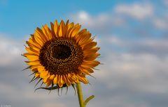 Sommer-Sonnenblume (6)