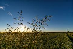 Sommerabend im Feld