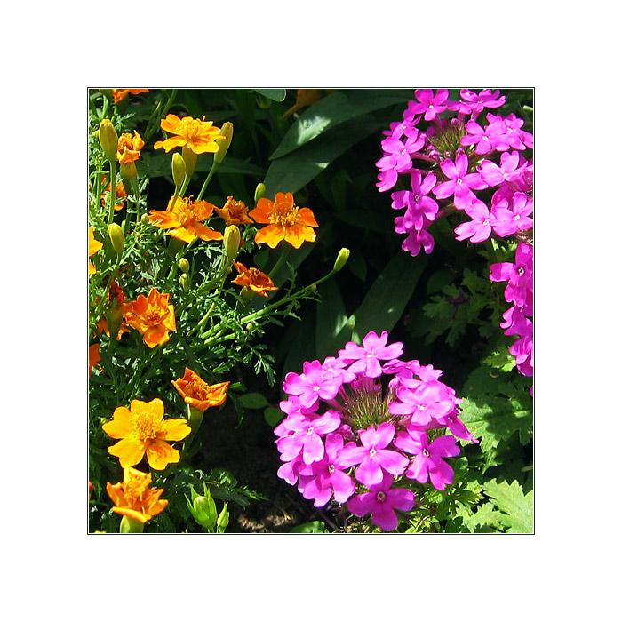 Sommerblüte IV