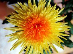 Sommerblütemstern