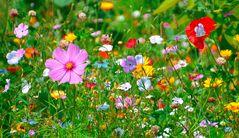 Sommerbluetenwiese