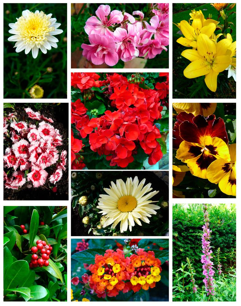 Sommerblumen 4 - ein Lichtblick trotz Aprilwetter im Juni