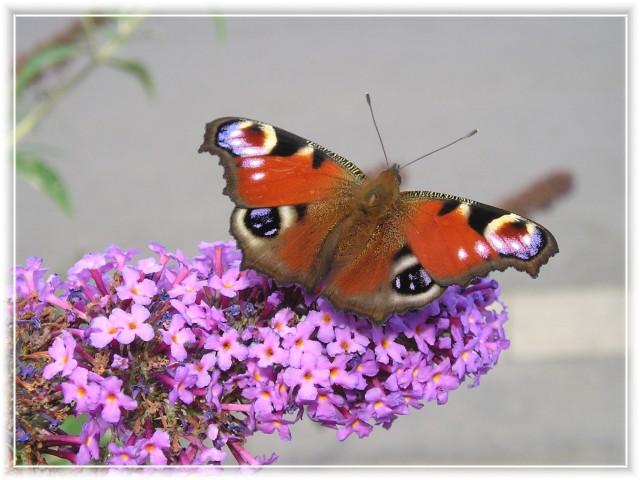 Sommer_Der Schmetterlingsbaum