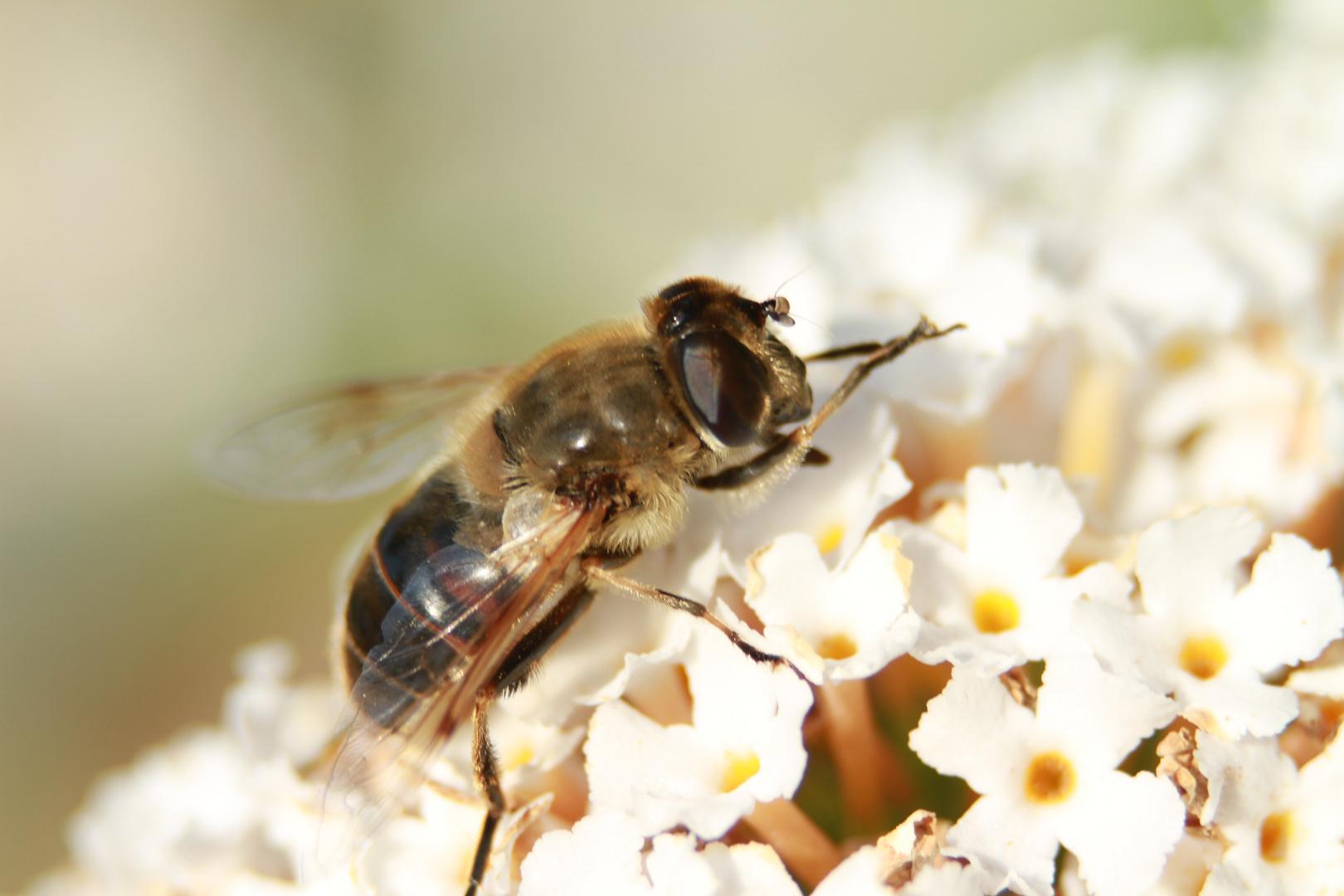 Sommerflieder mit Fliege