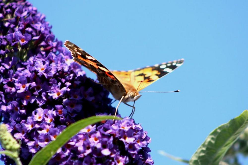 Sommerflieder und der Schmetterling