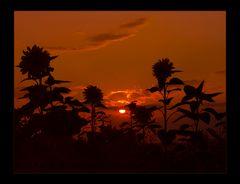Sommerglut versinkt... im Sonnenblumen- Feld...