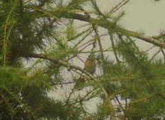 Sommergoldhähnchen 2012