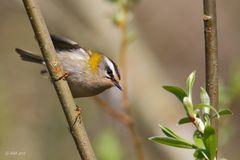 Sommergoldhähnchen (Regulus ignicapilla)....